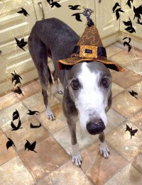 Stevie greyhound wearing a witches hat